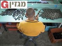 כלא רימונים / צילום: אלון רון