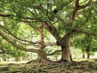 עץ פיקוס / צילום: שאטרסטוק