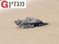 צב ים / צילום: אמיר ברטוב