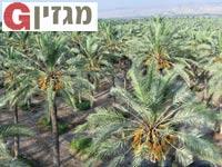 מטעי תמרם בעמק בית שאן / צילום: רפי קוץ