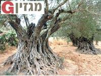 עצי זית עתיקים/ צילום:אורלי גנוסר