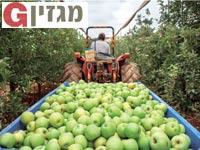 תפוחים / צילום: אייל הצפון