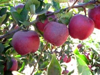 תפוחים/ צילום:יחצ