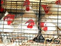 תרנגולות בכלובי סוללה /צילום: אנונימוס