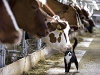 החתול ששומר על החלב בחווה זוכה לאהדת הפרות. גם קוקה קולה נכנסה לתחום / צילום: רויטרס
