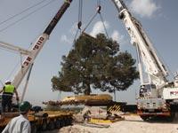 העתקת עצים - מקורות / צילום: יוסי את עוזי