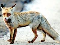 שועל החשוד כנגוע בכלבת / צילום: גיל ארבל