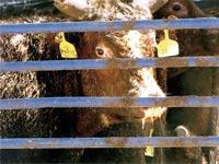 הובלת עגלים אוסטרליים / צילום: עמותת אנונימוס לזכויות בעלי חיים