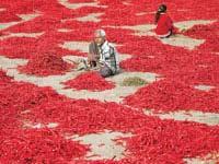 גידול פלפלים בהודו / צילום: רויטרס