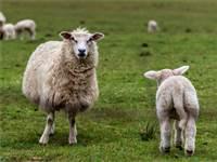 כבשים / צילום: שאטרסטוק