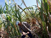 עובד במטעי קנה סוכר / צילום: רויטרס Edgard Garrido