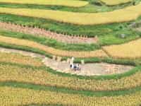 שדה אורז בסין/ צילום :רויטרס China Stringer