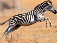 זברה / צילום:   Shutterstock/ א.ס.א.פ קרייטיב