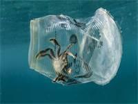 סרטן לכוד בכוס פלסטיק / צילום: Noel Guevara, Greenpeace