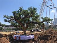 """העתקת עץ בכיכר המדינה בת""""א / צילום: שי צברי"""