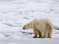 קרחונים נמסים עוצרים תנועה של דב קוטב לנדוד בטריטוריה שלו / צילום: Iain D. Williams, רויטרס