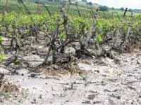 כרמי יין שניזוקו ממזג האויר / צילום: אורון שמאי קנט\הקרן לנזקי טבע בחקלאות