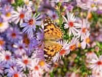 פרפרים נודדים / צילום: Shutterstock