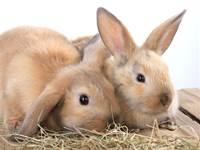 ארנבים / צילום: shutterstock