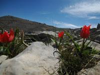 צבעוני הרים בפסגת החרמון / צילום: יותם יעקובסון