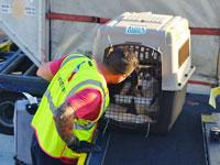 כלב בכלוב הטסה /   צילום:  Shutterstock/ א.ס.א.פ קריאייטיב