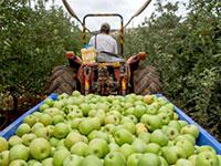מטע תפוחים בישראל / צילום: אייל מרגולין