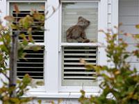 בובות דובי מונחים בחלונות של בתים ברחבי ניו זילנד כדי לעודד ילדים בזמן הבידוד במסגרת הסגר המיידי שהחלו במדינה / צילום: Mark Baker, AP