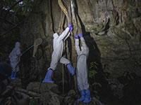 חוקרי מגפות לוכדים עטלפים במערה בתאילנד במאמץ להתחקות אחר מקורות נגיף הקורונה, אוגוסט / צילום: Sakchai Lalit, Associated Press