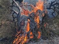עץ זית בן מאות שנים נשרף היום במורדות המירון ליד עין אל אסאד / צילום: גיא איילון, רשות הטבע והגנים