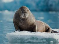ניבתן על משטח קרח בסוואלברד. ההתחממות הגלובלית מאיימת על שטחי המחייה של הניבתנים. 2 מתוך 3 תת-המינים נמצאים בסיכון גבוה להכחדה / צילום: גרינפיס
