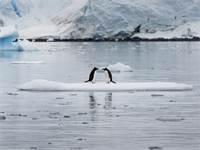 פינגווינים מזן ג'נטו במפרץ פאראדייס באנטרטיקה / צילום: Abbie Trayler-Smit, גרינפיס