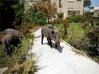 חזיר בר  / צילום: רונן זבולון, רויטרס