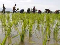 חקלאים בשדה אורז בהודו / צילום: רויטרס - Danish Ismail