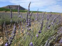 שדות לבנדר במושב כנף / צילום: יותם יעקבסון