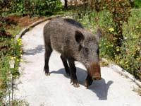 חזירי בר בחיפה / צילום: רויטרס - Ronen Zvulun