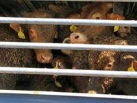 משלוחי עגלים מאוסטרליה, בעלי חיים, אנונימוס / צילום: אנונימוס