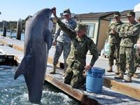 דולפינים לזיהוי מוקשים, צבא רוסיה, מודיעין / צילום: וידאו