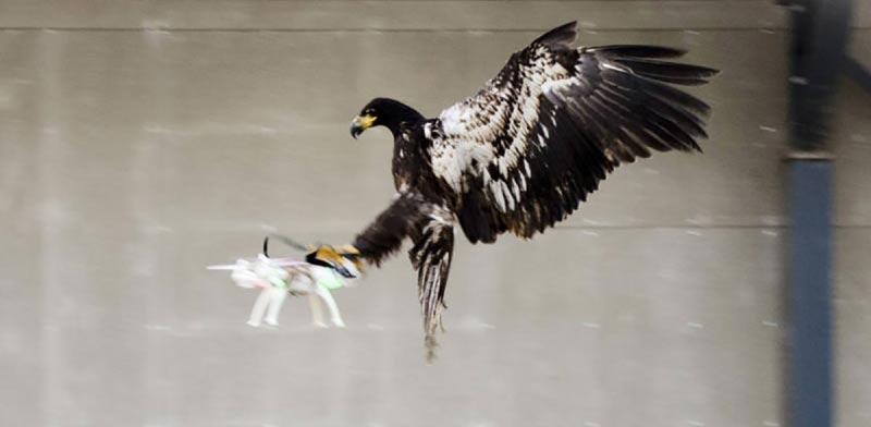 נשרים נגד רחפנים / צילום: מהוידאו