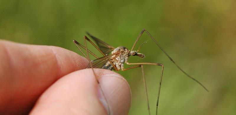 יתושי ענק / צילום: m.j raup