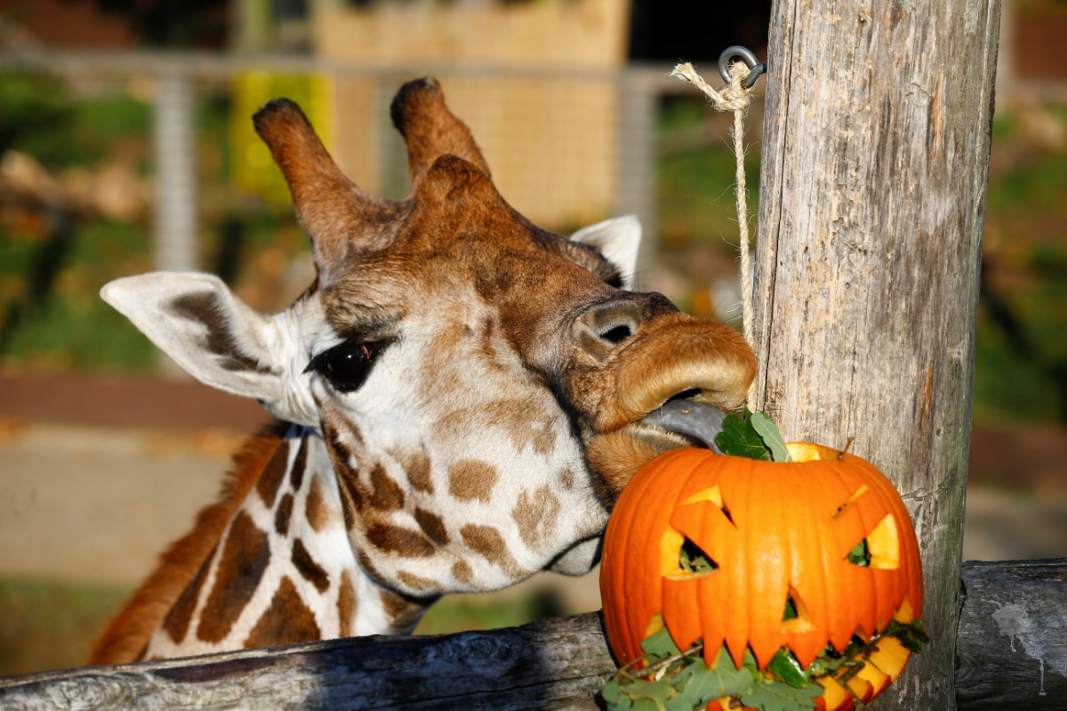 גם בגן החיות בלונדון חגגו את האלווין / צילום: רויטרס