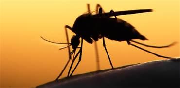 תנו לו בכפיים: יתוש הטיגריס האסיאתי מגיע לנוכחות שיא