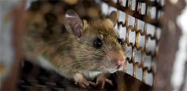 חולדה נגועה בעכברת (לפטוספירוזיס) / אילוסטרציה: Shutterstock