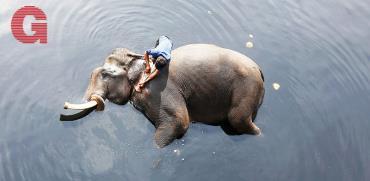 פיל בנהר הגנגס / צילום: רויטרס - Adnan Abidi