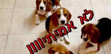 הונאת הכלבלבים: רוצים לאמץ את הביגלים? שלמו מאות דולרים