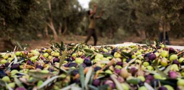 ראשית המסיק בכרם פתורה / צילום: ערן כהן