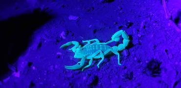 עקרבים בנגב. כשמאירים עליהם באור אולטרה–סגול, הם זוהרים. עולם מלא דרמה של ציד והישרדות / צילום: נעם שלו
