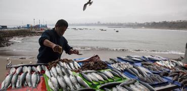 """מוכר דגים בפרו. לפי הערכות האו""""ם, 11 מתוך 15 אזורי המדגה העיקריים בעולם נמצאים במגמת הידלדלות / צילום: Rodrigo Abd, Associated Press"""