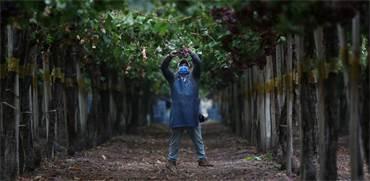 עובד עם מסכה בכרם ענבים בסן פליפה, צ'ילה / צילום: IVAN ALVARADO, רויטרס