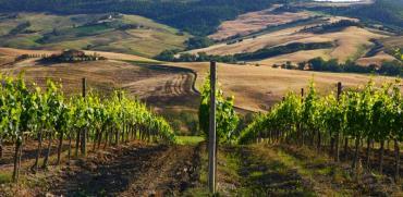 כרמים במונטהלצ'ינו / צילום: יחצ חול