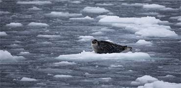 כלב ים, ממין פוסה טבעתית, על קרחונים בים באוקיינוס הארקטי. הקרח נמס במהירות מסוכנת / צילום: Daniella Zalcman, גרינפיס